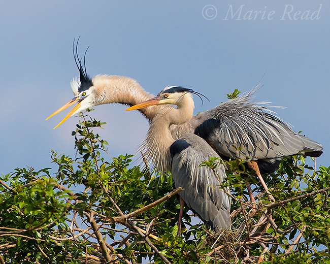 Great Blue Herons (Ardea herodias), pair interacting at nest, Venice, Florida, USA
