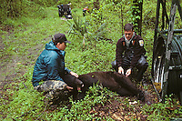 Steven R. Reagan, Ph.D (left) and David Soileau, Jr of the USFWS study a Louisiana Black Bear at Tensas River National Wildlife Refuge, Louisiana.  April.