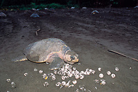 olive ridley sea turtle, Lepidochelys olivacea, returning to sea after nesting, crawls over and crushes eggs of another turtle dug up by later-nesting turtles during arribada, Playa Ostional, Costa Rica, Pacific Ocean