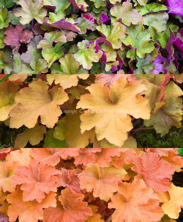Heuchera Caramel in three changing phases of leaf foliage color