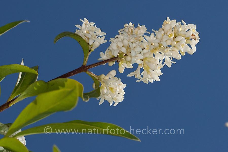 Gewöhnlicher Liguster, Rainweide, Blüten, Ligustrum vulgare, wild privet, Common Privet, European privet, Le troène commun
