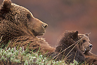 Grizzly bear nursing cubs, Denali National Park, Alaska
