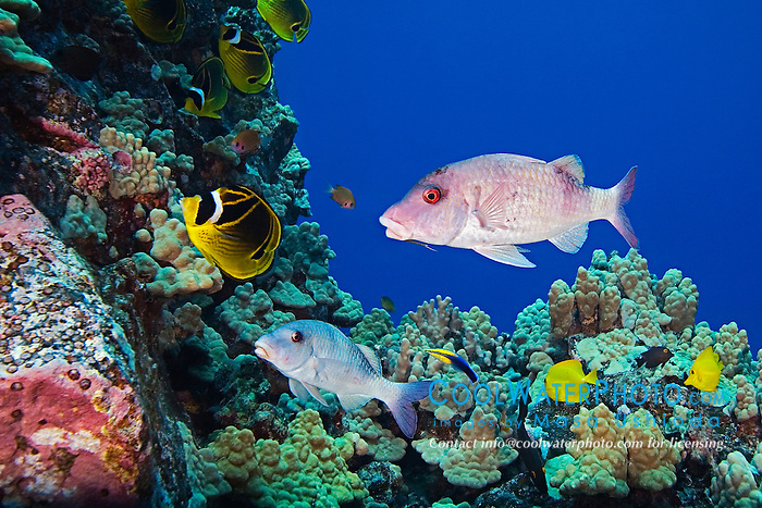 Doublebar Goatfish, Parupeneus bifasciatus, Raccoon Butterflyfish, Chaetodon lunula, and other reef fish, at cleaning station, cleaned by Hawaiian Cleaner Wrasse - endemic species, Labroides phthirophagus, Kona, Big Island, Hawaii, Pacific Ocean