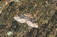 Dark-barred Twin-spot Carpet Xanthorhoe ferrugata Wingspan18-22mm. An attractive moth that is similar to Red Twin-spot Carpet. Wings are spread flat at rest. Adult has forewings marked with a broad dark bluish band and two dark spots near outer margin. Inner margin of dark band is straight with distinct notch near leading edge (inner margin is irregularly jagged without obvious single indent in Red Twin-spot). Larva feeds on low-growing, herbaceous plants. Widespread and common.