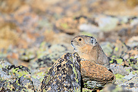 American Pika (Ochotona princeps) on rocks in Rocky Mountain National Park, Colorado.