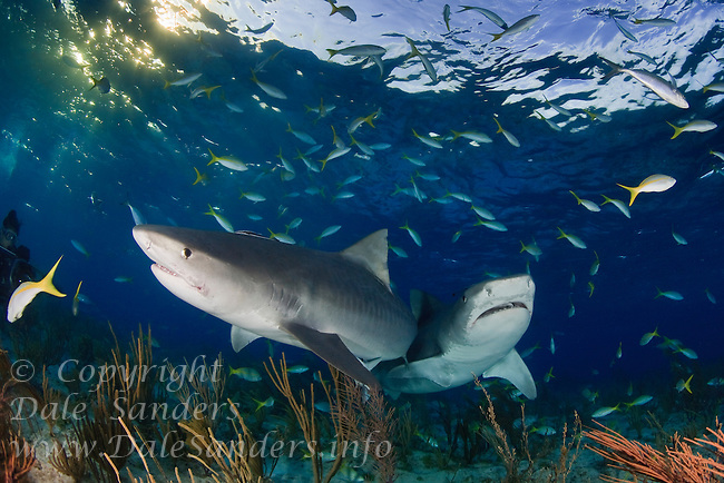 Two large Tiger Sharks (Galeocerdo cuvier) approach the underwater photographer in the Bahamas.