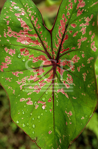 Amazon, Brazil. A green leaf with pink and white markings, and raindrops on it.