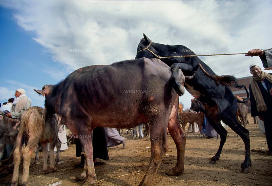 ..Egypt. Nile Delta. El Mahala, near Tanta. 1996. Bovine mating at the weekly agricultural fair...Egypte. Delta du Nil. El Mahala, pres de Tanta. 1996. Accouplement de bovins a la foire agricole hebdomadaire.