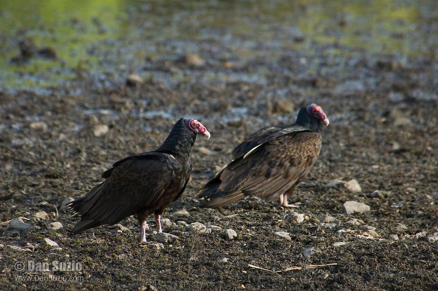Turkey vultures, Cathartes aura, at shoreline of Pena Blanca Lake, Coronado National Forest, Arizona