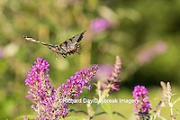 03023-02905 Eastern Tiger Swallowtail Butterfly (Papilio glaucus) in flight in garden near Butterfly Bush (Buddleia davidii), Marion Co., IL