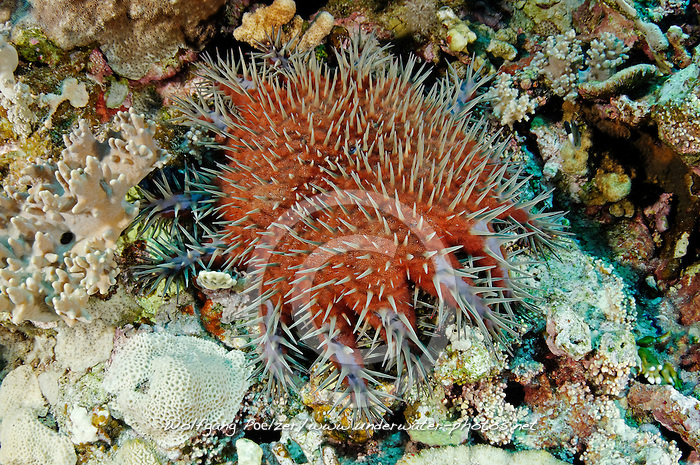 Acanthaster planci, crown of thorns sea star, Starfish, Dornenkronen Seestern, Dornenkrone, Rotes Meer, Ägypten, Red Sea Egypt