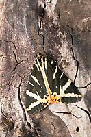 Russischer Bär, Spanische Flagge, Euplagia quadripunctaria, Callimorpha quadripunctaria, Phalaena quadripunctaria, Jersey Tiger, L'Écaille chinée, Callimorphe, Bärenspinner, Arctiinae, Arctiidae, erebid moths, erebid moth, woolly bears, woolly worms