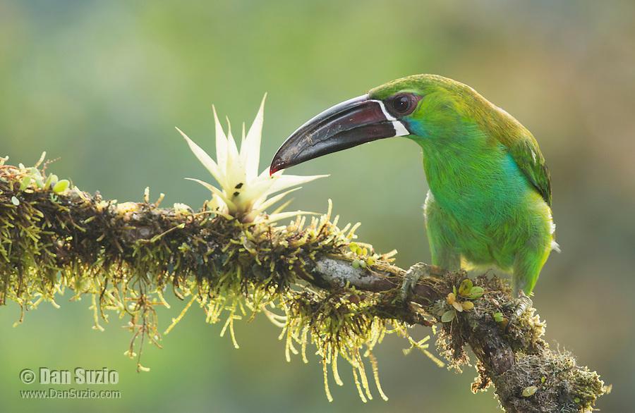 Crimson-rumped toucanet, Aulacorhynchus haematopygus. Tandayapa Valley, Ecuador