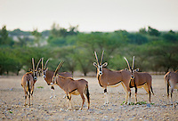 Rare Arabian Oryx, Oryx leucoryx, endangered species in Qatar, The Gulf States