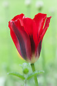 Tulipa 'Red Springgreen', mid april. A red-flamed variant on the Viridiflora Group tulip 'Spring Green'.