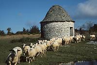 Europe/France/Midi-Pyrénées/46/Lot/Parc Naturel Régional des Causses du Quercy/Causse de Livernon/Env Livernon: Gariotte et brebis sur le causse