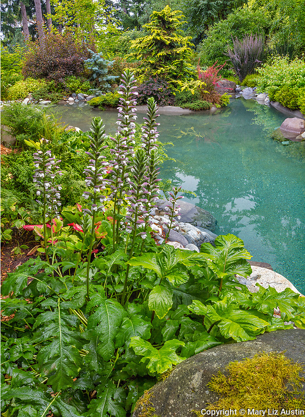 Vashon-Maury Island, WA: Bear breeches (Acanthus mollis) blooming on the edge of a salt water plunge pool surrounded by woodland perennial garden.
