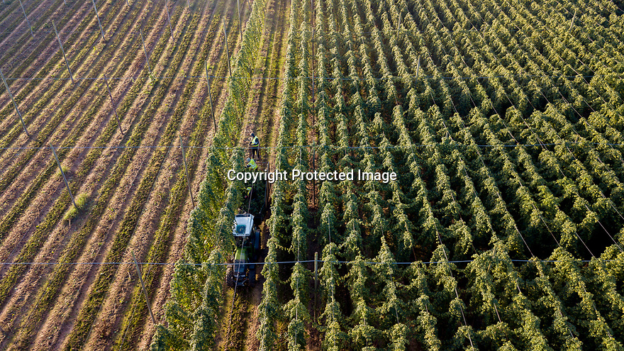 04/09/19<br /> <br /> ***Video also available*** <br /> <br /> A farm-worker uses a sickle to cut down hop bines and load them into a tractor and trailer at Stocks Farm, Suckley, in the Malvern Hills, Worcestershire. A warm wet summer has made ideal growing conditions for this year's hop harvest.<br /> <br /> All Rights Reserved, F Stop Press Ltd +44 (0)7765 242650 rod@fstoppress.com www.fstoppress.com www.rkpphotography.com