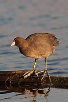 American Coot (Fulica americana) showing large lobed toes. Pocosin Lakes NWR, North Carolina. November.