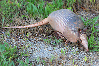 Courtesy photo/PHYLLIS KANE<br /> CLAD IN ARMOR<br /> An armadillo waddles along at the Beaver Lake Nursery Pond. The fish-rearing pond operated by the Arkansas Game and Fish Commission is at the end of Key Road east of Rogers. It is open for wildlife watching and hiking. Phyllis Kane of Fayetteville took the picture at the nursery pond in June.