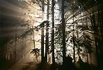 Sun rays burst through trees, Olympic National Park, Washington
