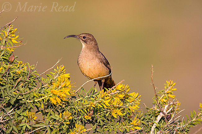 California Thrasher (Toxostoma redivivum), perched amid yellow flowers of Bladderpod (Isomeris arborea) Crystal Cove State Park, California, USA