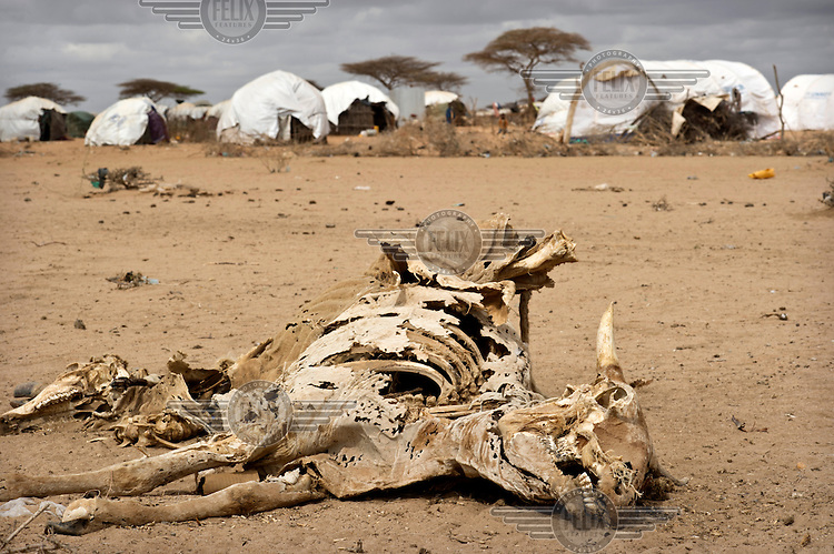 The carcass of a dead animal lies near tents at the Dadaab refugee camp. Many of the recent arrivals at Dadaab are fleeing East Africa's worst drought for 60 years. The UN described it as a humanitarian emergency. The already overcrowded complex received 1,000 new refugees a day in June, five times more than a year ago. About 30,000 people arrived at the Dadaab refugee camp in June, according to UNHCR compared to 6,000 in June 2010.