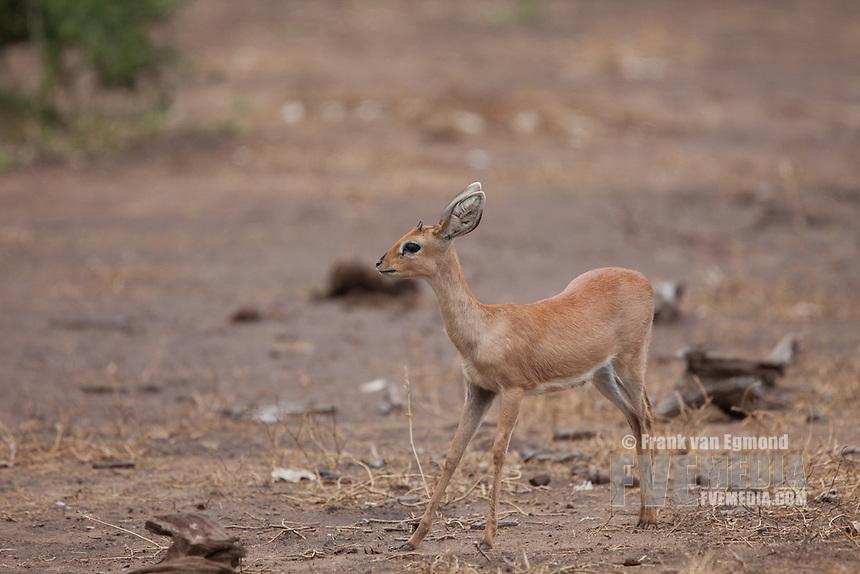 Steenbok (Raphicerus campestris). Mashatu Game Reserve..Tuli block, Botswana..November 2010.
