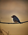 One-eyed House Finch. Image taken with a Nikon D5 camera and 600 mm f/4 VR lens (ISO 560, 600 mm, f/4, 1/1250 sec)