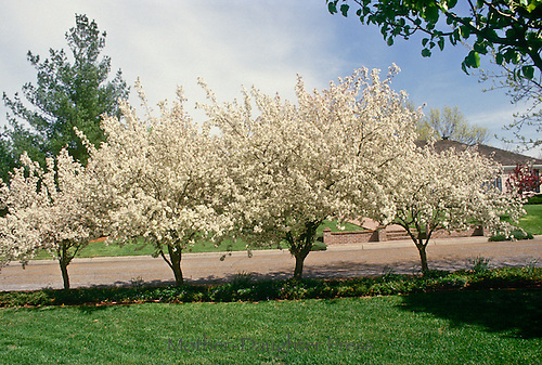 Katherine crabapple trees bloom along street edge, providing privacy to the house