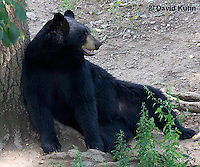 1021-1008  American Black Bear Resting on its Back Against a Tree, Ursus americanus  © David Kuhn/Dwight Kuhn Photography