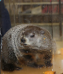 """Staten Island Chuck visit the """"Groundhog Day'' opening day box office at The August Wilson Theatre on February 2, 2017 in New York City."""