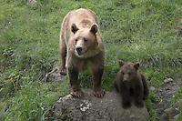 Europäischer Braunbär, Bär, Mutter mit Jungtier, Jungem, Ursus arctos, Brown bear, Ours brus