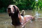 "Pictured:  The duckling sat on Meg the dog's back as they keep cool in a stream in Winchester, Hants.<br /> <br /> BIRD BRAIN.....A duckling sits on top of a dog in a cute series of images showing the pair out enjoying the sunny weather in Winchester, Hants.<br /> <br /> The German pointer called Meg has become used to the duckling's presence after her owner spotted an abandoned egg close to a path while out walking.  Will Hall from Wincheter took it home to keep it warm where he was able to hatch the duckling.<br /> <br /> Will, Meg's owner said: ""I'm thrilled that the dog and the duckling are getting along. To start with Meg was scared of the duckling and would just run away as soon as it came near her. So the fact that she is now letting it be around her is a big relief.  She would never go for it, or attack it in anyway.""<br /> <br /> Please byline: WRH Photography/Solent News<br /> <br /> © WRH Photography/Solent News & Photo Agency<br /> UK +44 (0) 2380 458800"