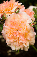 English Legend rose flower Rosa 'Lawrence of Arabia' pink, peach color