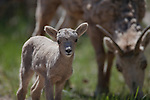 Bighorn Sheep lamb and ewe in Montana