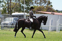 Champion Large Galloway