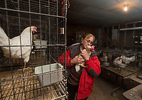 NWA Democrat-Gazette/BEN GOFF @NWABENGOFF<br /> Connie Boger collects eggs from chickens Thursday, Dec. 28, 2017, at the family's farm in Lowell.