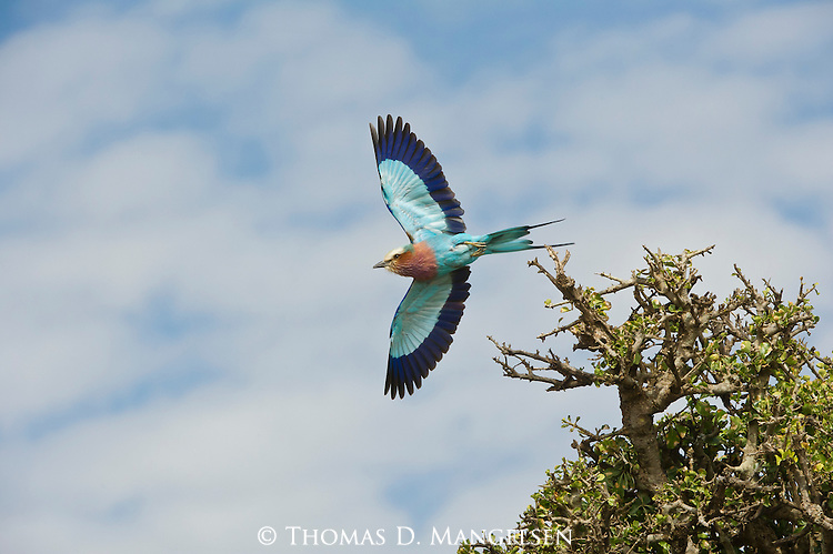 With wings spread, a lilac breasted roller takes flight from his perch, revealing a kaleidoscope of feathers—lilac, turquoise and indigo.  Masai Mara, Kenya