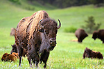 Bison in a meadow in Custer State Park, South Dakota