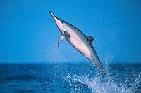 Hawaiian spinner dolphin or Gray's spinner dolphin, Stenella longirostris longirostris, jumping, North Kona, Hawaii ( the Big Island ), USA ( Central Pacific Ocean )