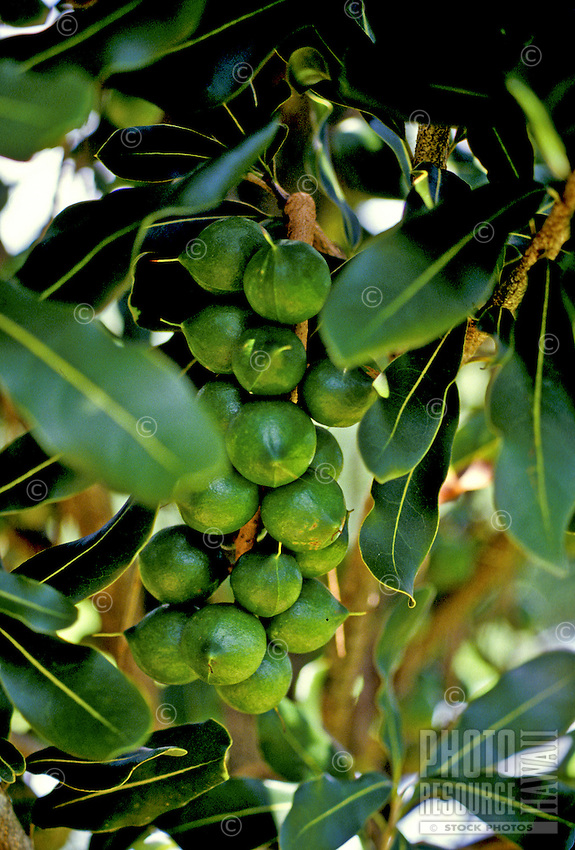 Close-up of a cluster of green macadamia nuts growing on a tree on the Big Island of Hawaii.