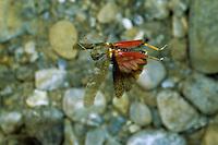 Gefleckte Schnarrschrecke, Männchen im Flug, Bryodemella tuberculata, Bryodema tuberculata, Speckled Buzzing Grasshopper, Speckled Grasshopper, male