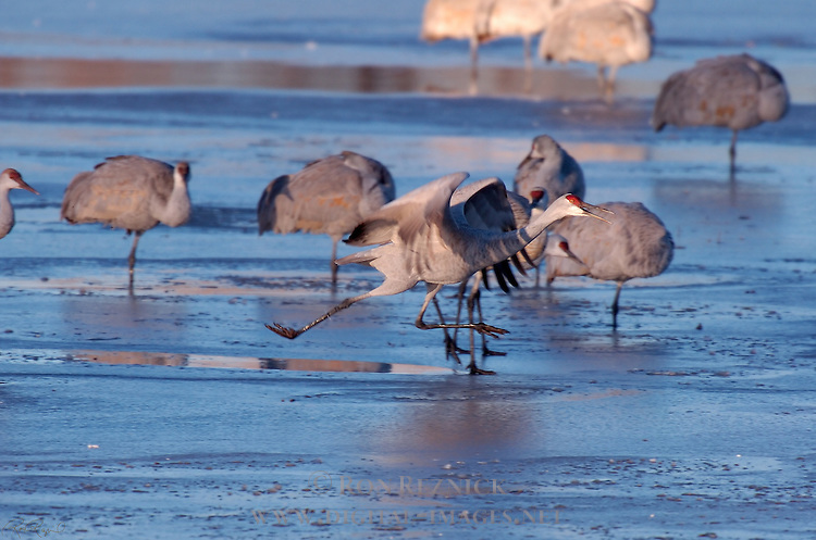 Sandhill Crane Comical Takeoff Running on the Ice Bosque del Apache Wildlife Refuge New Mexico