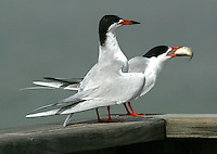 Pair of adult Forster's terns in breeding plumage. Male has presented a courtship fish to female.
