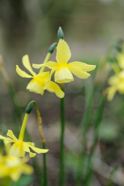 Narsissus Hawara
