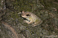 0201-0908  Cuban Treefrog at Night (Cuban Tree Frog), Osteopilus septentrionalis  © David Kuhn/Dwight Kuhn Photography