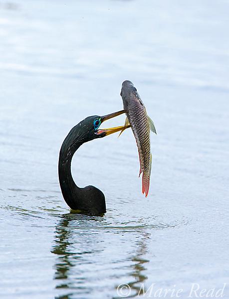 Anhinga (Anhinga anhinga) capturing a fish, Viera, Florida, USA.