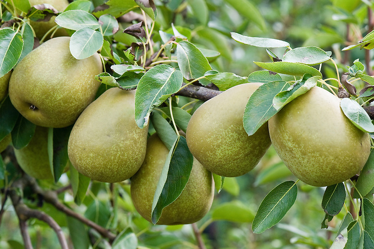 """Pear 'Gorham', early September. An American pear """"raised in 1910 by Richard Wellington at New York State Agricultural Experimental Station from 'Williams Bon Chretien' x 'Josephine de Malines'. Introduced in 1923. A good quality and reliable pear but sometimes only of moderate cropping."""" ('Pears' by Jim Arbury and Sally Pinhey)"""