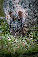 An armadillo at Sequoyah National Wildlife Refuge in Oklahoma.